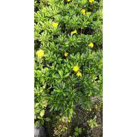 成都鑫森蕴长期供应各种规格的木春菊 常绿植物 花期长