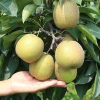 2米秋月梨树苗 2米梨树苗几年结果 农户直销秋月梨树苗 梨树苗一亩种多少