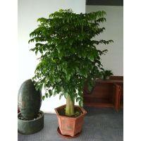 福田办公室租花,幸福树叶片发黄掉叶的处理方法,大型幸福树出租
