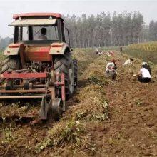 牡丹苗产地大量批发 高质量牡丹 高含量