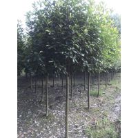 红叶石楠树形 大量红叶石楠出售 高杆的 球