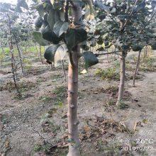 2公分3公分红肉苹果苗价格 1米苹果苗批发价格优惠