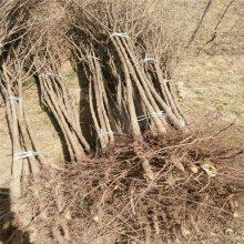 杏树苗繁育基地 大白杏树苗 荷兰香蜜杏树苗 惠农1公分杏树报价