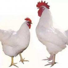 柳江青年鸡养殖 鹤壁市惠民柳江青年鸡养殖中心