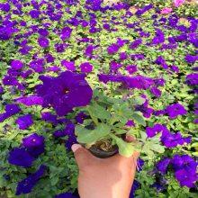 紫色矮牵牛种植基地丨紫色矮牵牛批发丨供应