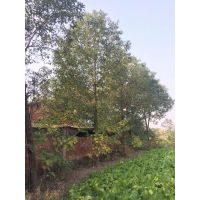 香樟小苗到120公分的长期都有 成都鑫森蕴自己的基地 质量好