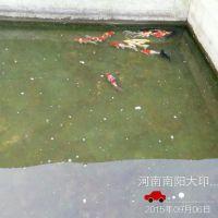 南阳金鱼观赏鱼大量批发  红白锦鲤鱼 锦鲤水花活体鱼苗 热销供应