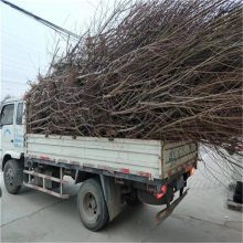 桃树苗种植栽培 桃树苗出售价格