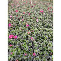 重庆西洋鹃2018价格 西洋鹃基地出售 粉色花朵