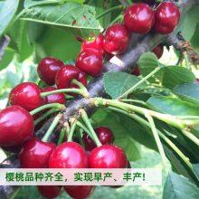 三年大樱桃树价格 6年大棚樱桃树 三公分分枝樱桃树报价 惠农 大樱桃苗圃