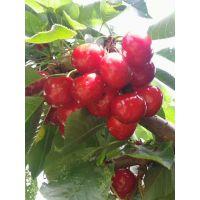 壹棵树拉宾斯车厘子种苗种植技术