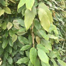 重庆油麻藤种植基地出售油麻藤工程苗 油麻藤批发基地价格优惠低价处理