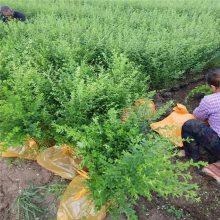小叶女贞绿篱四季常青不落叶 西安本地绿化苗木出售