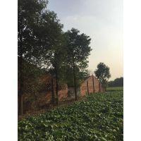 大量出售各种大小的全冠香樟批发基地 10公分工程苗