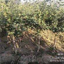 红富士苹果苗价格 1公分2公分烟富苹果苗当年结果