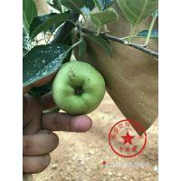 壹棵树农业 矮化苹果树苗 优质苹果树苗哪里卖 厂家特卖