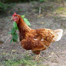 青年鸡供应商 鹤壁市惠民青年鸡供应商