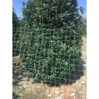 大量出售各种品种的桂花笼子批发基地,四季常绿笼子桂花5米价格