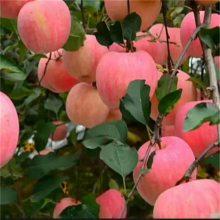 维纳斯苹果苗、矮化苹果苗、2年苗优惠多适合全国种植