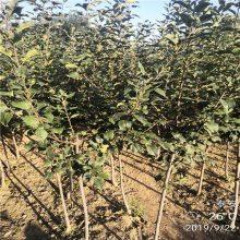 鲁丽苹果苗货源地 清地处理红富士苹果苗多少钱一棵