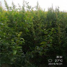 河南石榴树苗批发_石榴树苗品种_1-3公分石榴苗量大