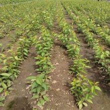 樱桃苗 樱桃种子苗批发 1公分左右樱桃苗价格