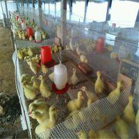 塑料筛网 养鸡筛网 养鸭子塑料筛网