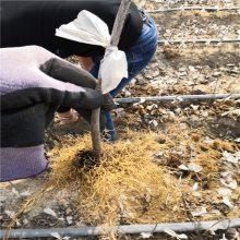 适合大棚种植樱桃苗品种 樱桃苗育苗基地 惠农
