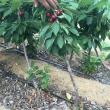 樱桃苗批发市场 惠农 优质樱桃苗 大樱桃树 脱毒樱桃苗