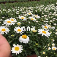 四川成都批发白晶菊工程苗,白晶菊大量出售,杯苗价格是多少