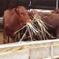 福建小牛犊几个月能吃草科学养牛