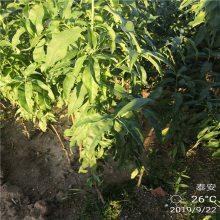 晚熟秋彤桃树苗的价格 晚熟桃 大个桃 桃树种苗基地 1米桃树苗