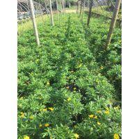 要说哪里的木春菊好,淡然是成都鑫森蕴园林出土的好哦,杯苗出售