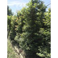 长期出售各种规格的金丝楠木,批发基地直销哦,2019价格的多少?