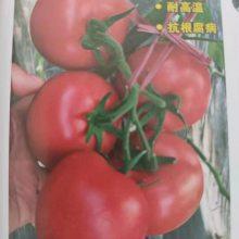 卡罗莱娜--耐热早熟硬度好 大果硬粉番茄