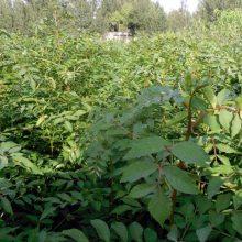 西梅李子苗结果时间 红脆李子苗提供技术 2年李子苗几月栽种 红脆李子苗