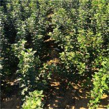 苹果苗价格、矮化苹果苗、高产没病害规格全质量好