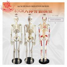 推荐关节可动纯白骨附脊神经肌肉起止点颅骨可拆85cm人体骨骼模型