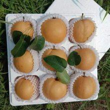 梨子苗批发,适应各种土壤梨树苗,梨子树苗现场起苗