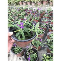 成都鑫森蕴大量供应鼠尾草 大小杯子都有 紫色的花朵