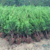 1米-1.5米高塔柏/桧柏树价格 广东谭公桧柏种植基地大量塔柏树销售