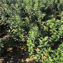 维纳斯苹果苗、矮化苹果苗、2年苗优惠多售后有保证