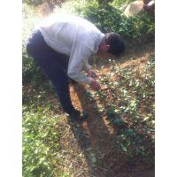 兴红盛三红柚子苗成苗价格是多少