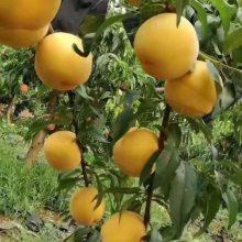 晚熟桃树苗 二号冬桃苗 嫁接桃树苗批发嫁接品种桃树苗