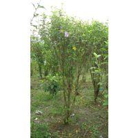 木槿花灌木大量出售 四川木槿花价格 木槿花色好看 紫色花朵