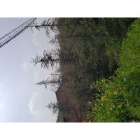 成都苗木基地出售雪松工程苗,雪松批发基地高度1-8米都有哦