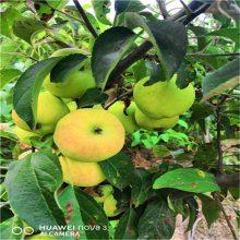 苹果苗价格、鲁丽苹果苗、3年苗成活率高适合全国种植