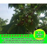 吉塞拉樱桃苗价格 矮化吉塞拉樱桃苗供应