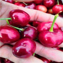 樱桃砧木苗报价吉塞拉矮化樱桃苗多少钱一棵