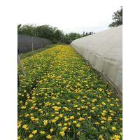 木春菊大量上市啦 木春菊成都基地直销 黄色花朵